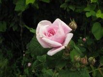 小桃红色玫瑰 免版税库存照片