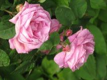 小桃红色的玫瑰 免版税库存照片