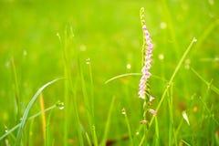 小桃红色花、绿草和水下落/露珠 图库摄影