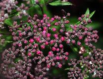小桃红色花蕾 库存图片