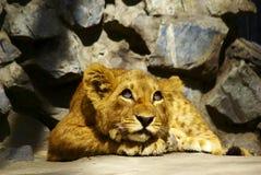 小梦想家狮子 库存照片