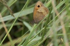 小棕色翼被察觉的蝴蝶 免版税库存图片
