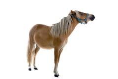 小棕色马的光 库存图片