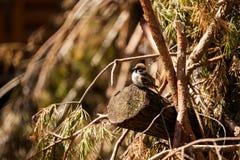 小棕色麻雀 库存图片