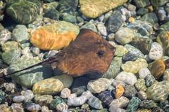 小棕色黄貂鱼在清楚的海盐水的浅水区游泳 免版税库存照片