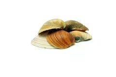 小棕色贝壳 库存照片
