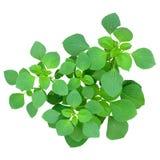 小植物的顶视图,在中心小组的绿色新鲜的叶子分支,被隔绝的白色背景 库存照片