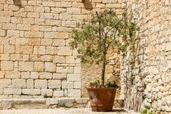 小橄榄树在一个泥罐被种植在法国 免版税库存图片