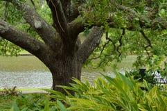 小橡树树在路易斯安那 免版税库存照片