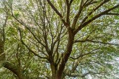 小橡树树 库存照片