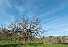 小橡树树 库存图片