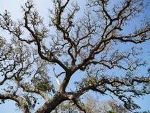 小橡树结构树 免版税库存图片