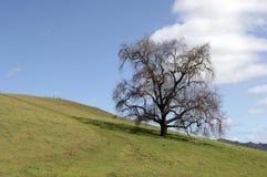 小橡树 免版税库存图片