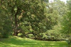 小橡树 免版税图库摄影