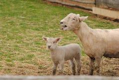 小母亲绵羊 免版税库存图片