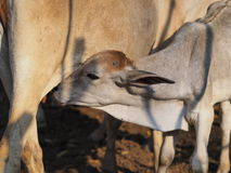 小母牛 免版税图库摄影