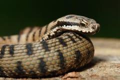 小毒蛇vipere 库存图片