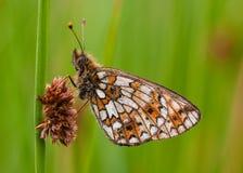 小毗邻的蝴蝶贝母的珍珠 免版税库存照片