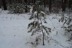 小毛皮树在杉木森林里,克拉斯诺亚尔斯克边疆区,俄罗斯 免版税库存图片
