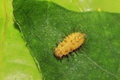 小毛虫蛹的生理  库存图片