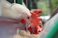 小汤母鸡培训 免版税图库摄影
