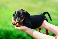 小沮丧在女孩的手上说谎 拿着在绿草背景的女性手一只达克斯猎犬小狗  免版税库存照片