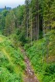 小河在杉木森林里 免版税库存照片