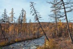 小河在秋天西伯利亚taiga 免版税库存图片