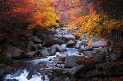 小河在金黄秋天森林里 库存图片
