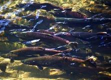 小河多彩多姿的三文鱼sissaquah华盛顿 免版税库存照片