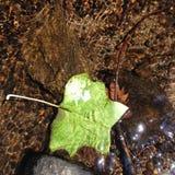 小河旁边北美鹅掌楸叶子 库存图片