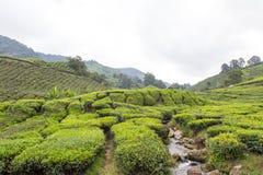 小河流经茶园在喀麦隆高地 库存照片
