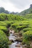 小河流经茶园在喀麦隆高地 免版税库存图片