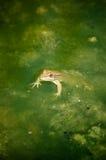 小河青蛙绿色 免版税库存图片