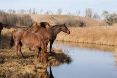 小河饮用的马 免版税库存图片