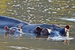 小河马(河马amphibius) 免版税库存图片