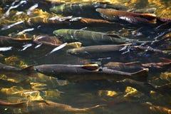 小河issaquah多彩多姿的三文鱼华盛顿 库存照片