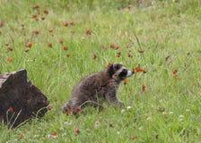 小浣熊嗅到的野花 图库摄影