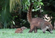 小浣熊在妈妈以后 免版税图库摄影