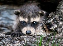 小浣熊(浣熊属lotor)凝视观察者 免版税库存图片