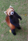 小浣熊 库存照片