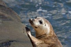 小海豹在La Jolla 免版税库存图片