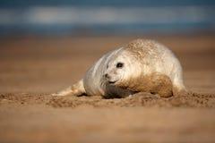 小海豹 免版税库存图片