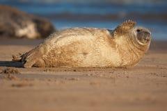 小海豹 库存图片