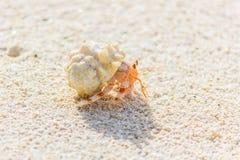 小海滩的螃蟹 库存图片