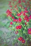 小深红花在庭院里在夏天在晴天,充满活力的颜色 库存照片