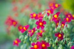 小深红花在庭院里在夏天在晴天,充满活力的颜色 图库摄影