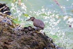 小滨鹬海洋鸟鸟从南佛罗里达迈阿密海滩 免版税库存图片