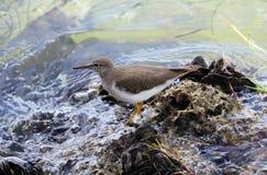 小滨鹬海洋鸟鸟从南佛罗里达迈阿密海滩 免版税图库摄影