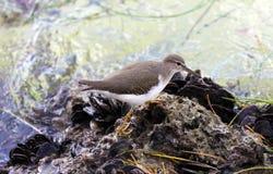 小滨鹬海洋鸟鸟从南佛罗里达迈阿密海滩 库存图片